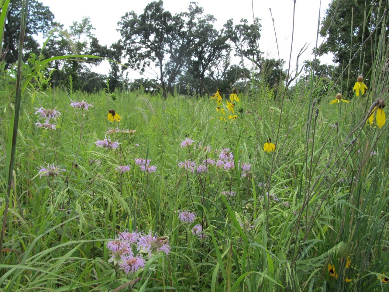 Native prairie wildflowers