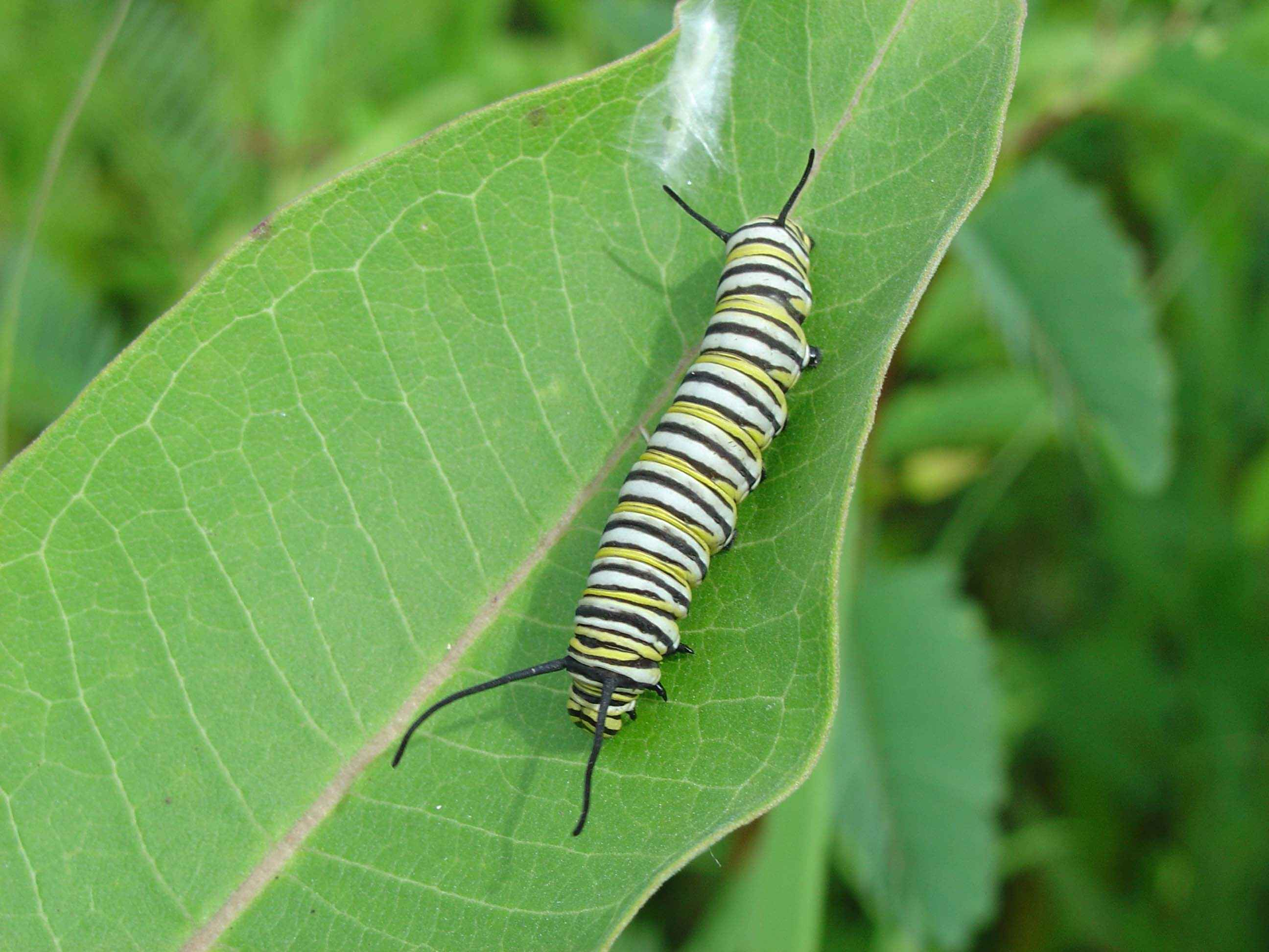 Monarch larva on milkweed.