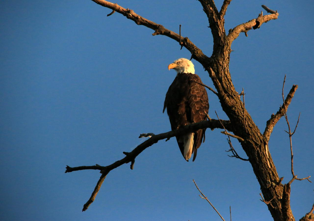 Bald eagle, photo by Tom Reiter