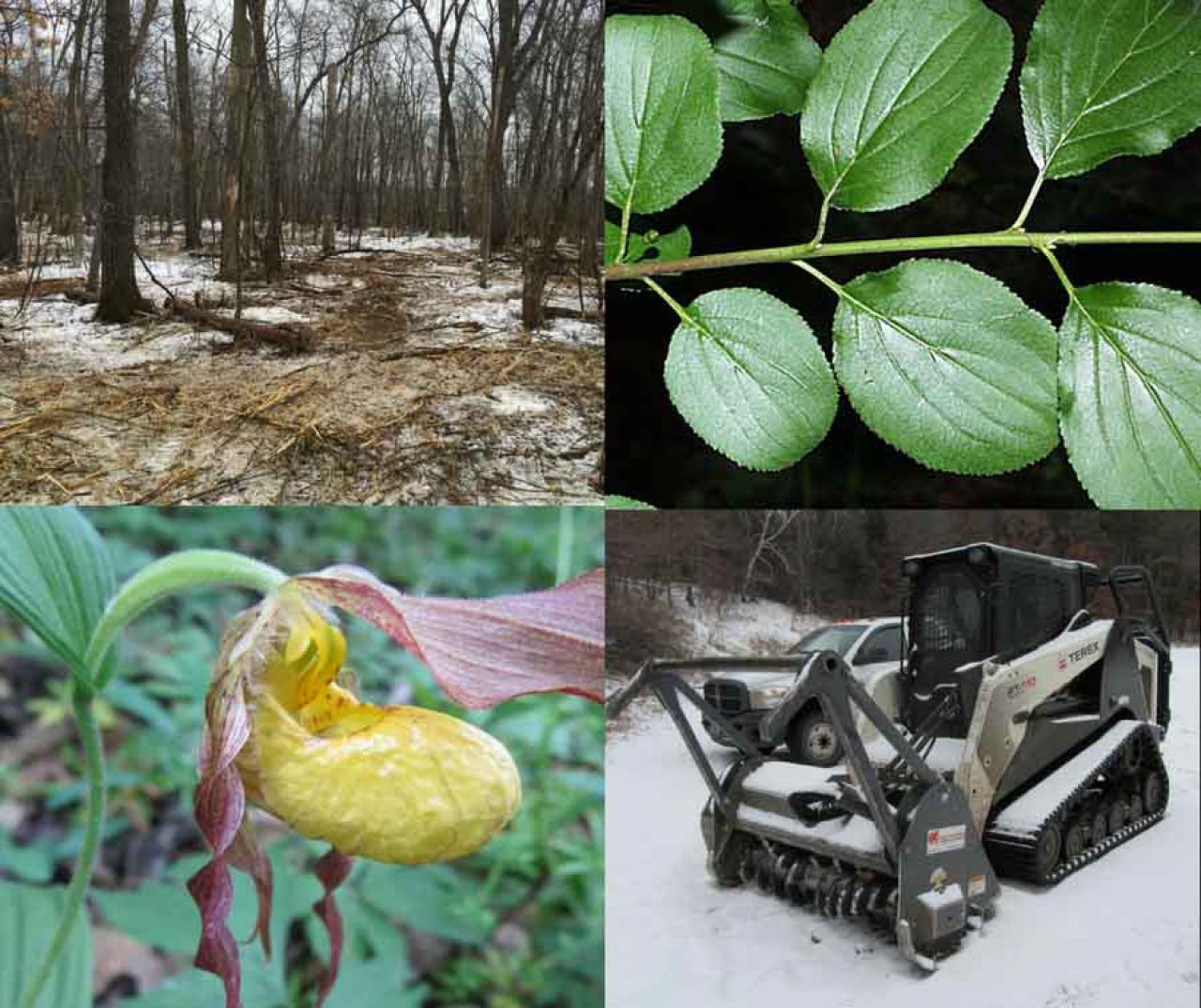 A native ladyslipper plant, a mowed stretch of forest, a glossy buckthorn plant and a bobcat/forestry mower
