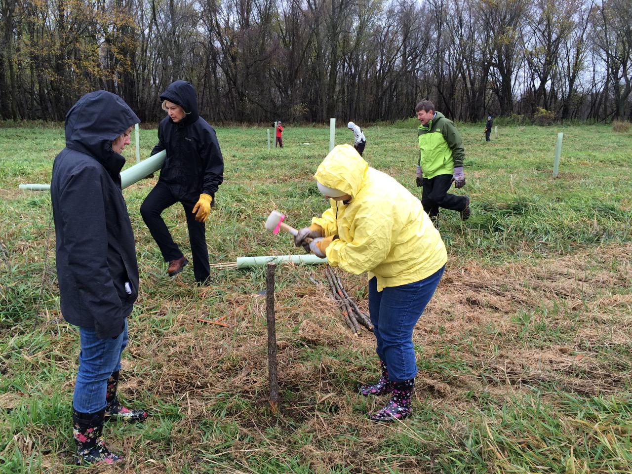 Installing cottonwood live stakes in the floodplain forest near Hastings