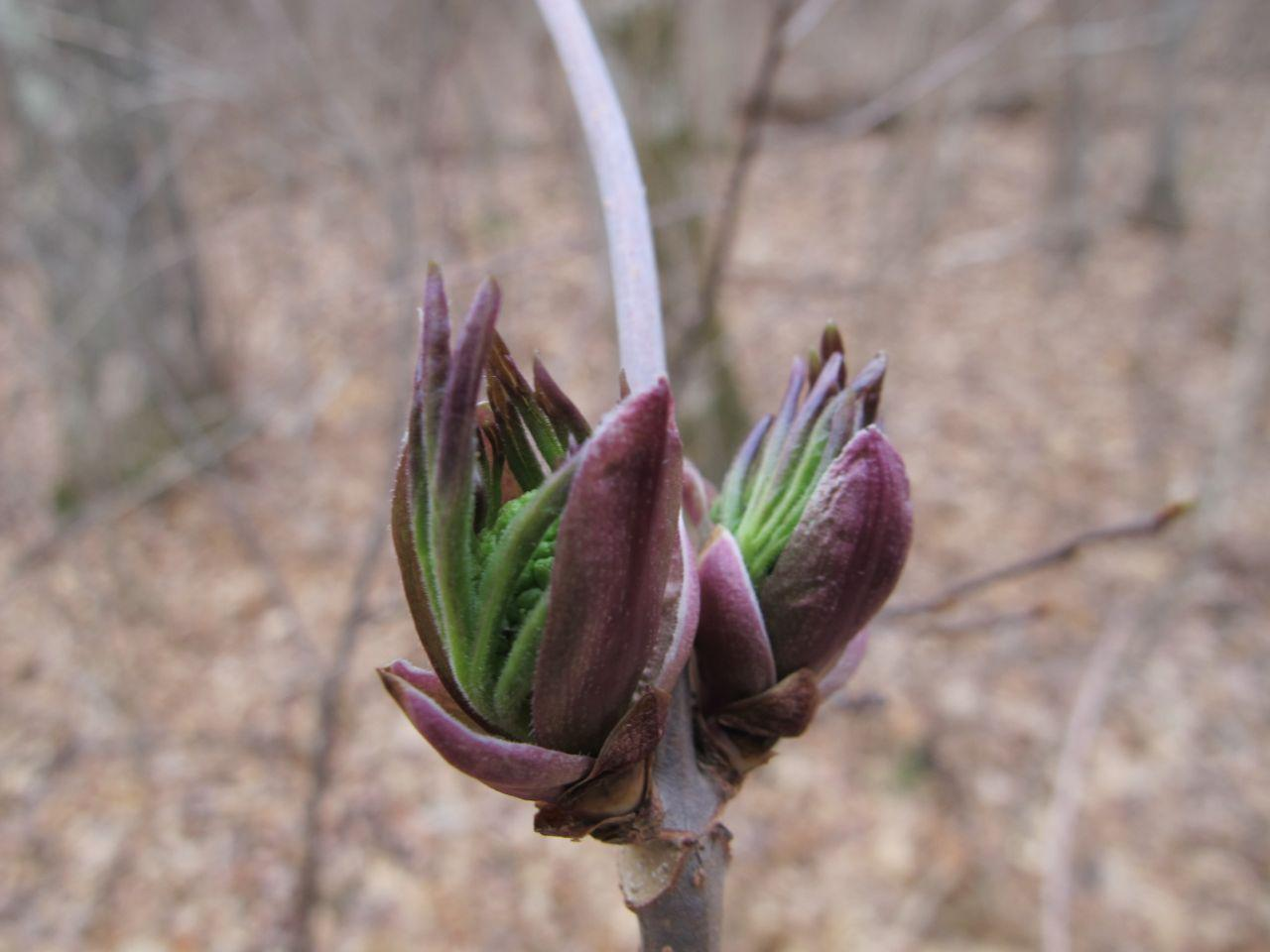 Elderberry bud