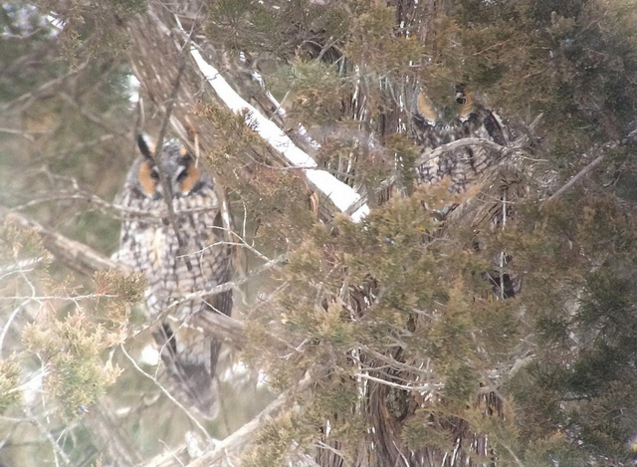 While hard to see, there is indeed a second owl in this photo.