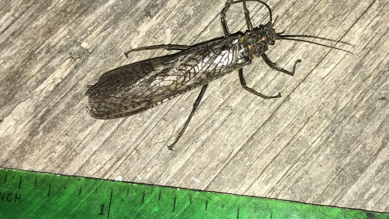 giant stonefly 1.6 inches long