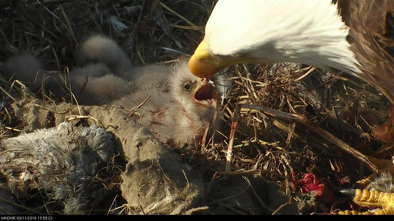 An adult bald eagle feeds its babies live on camera