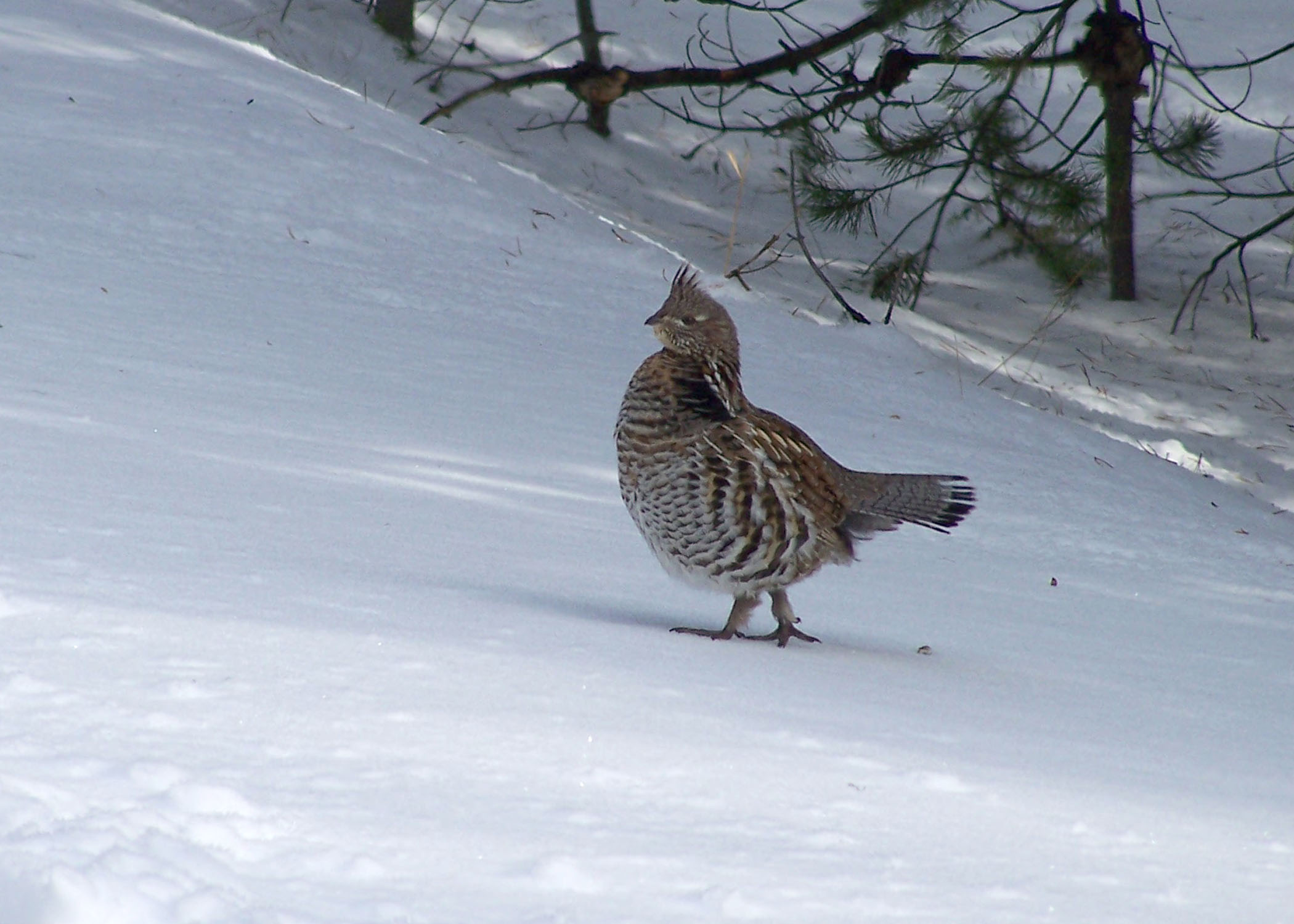 Ruffed grouse in winter