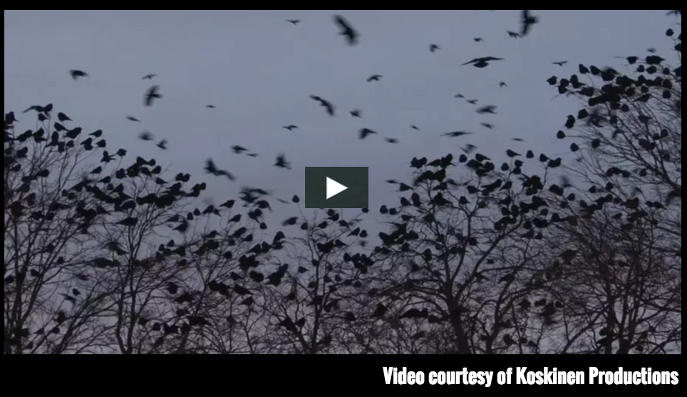 Thousands of crows ... with thousands of facebook fans.