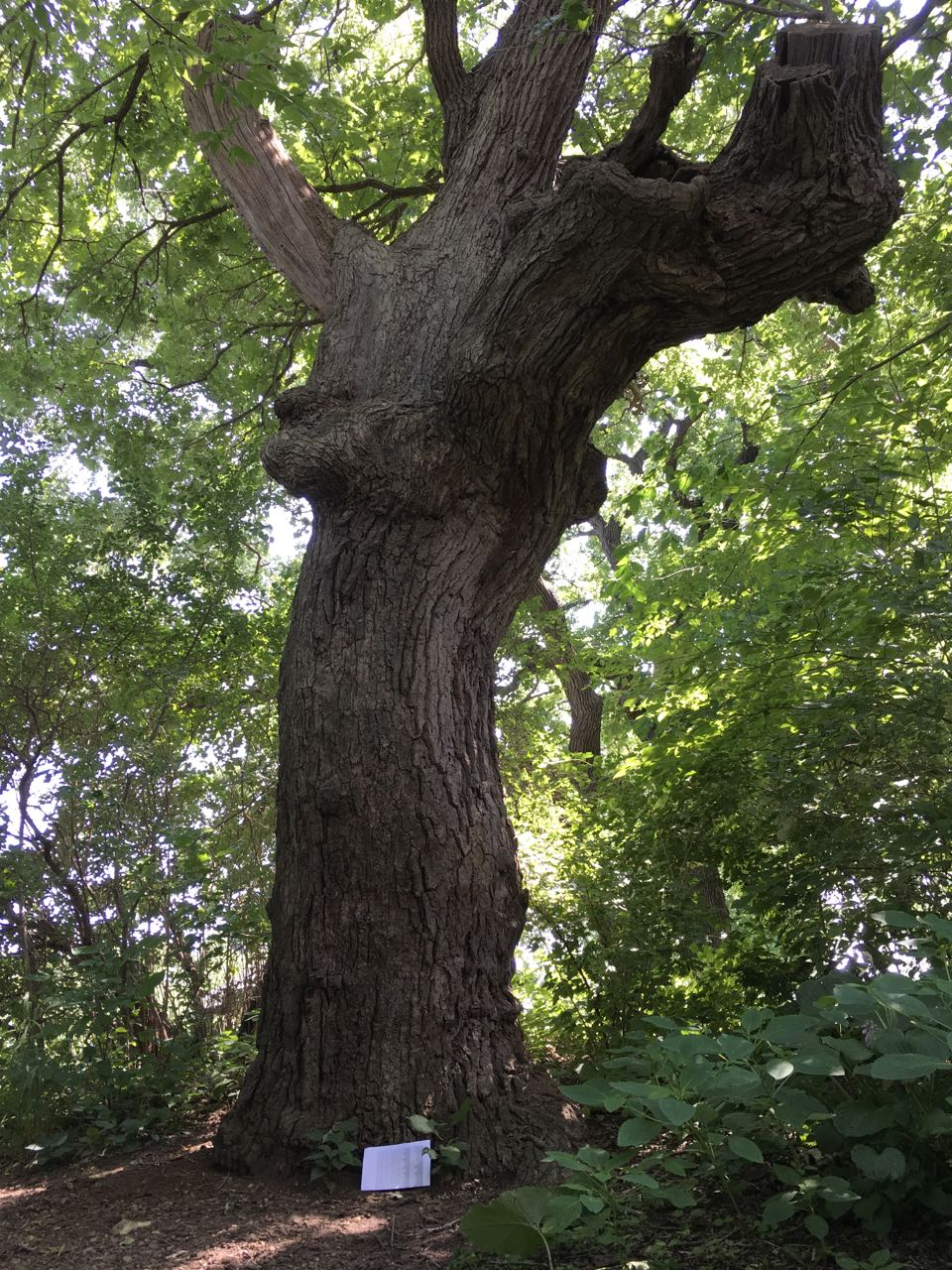bur oak tree