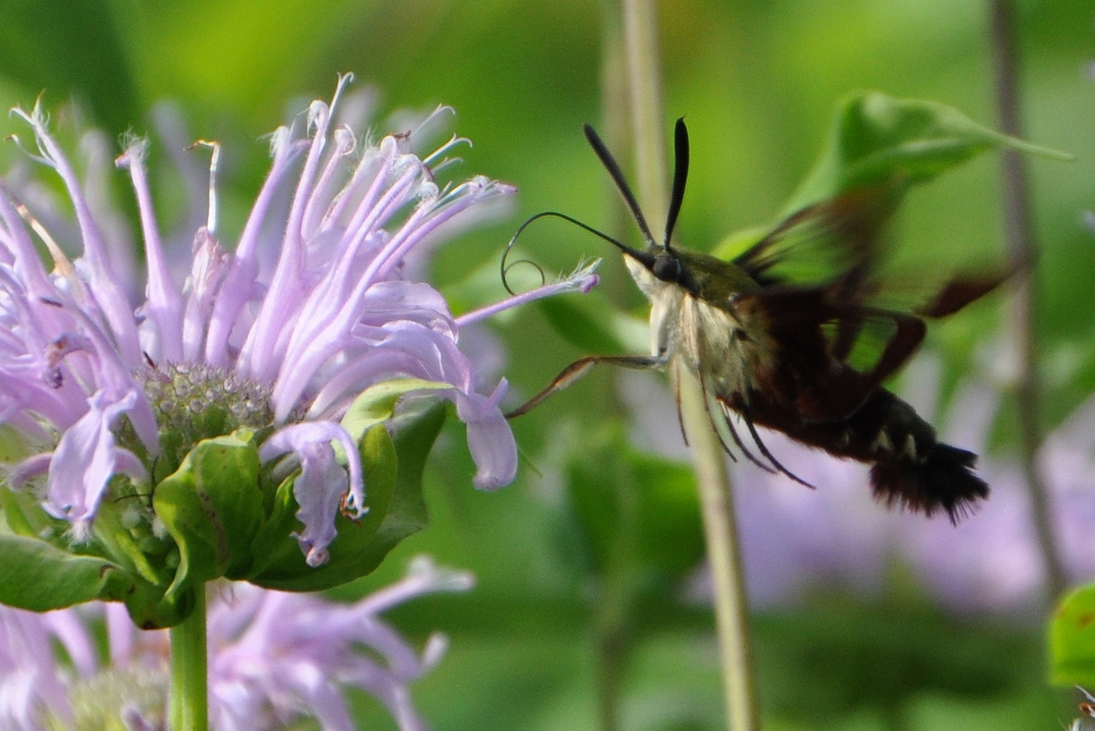 Hummingbird moth on bergamot by Ted Bobosh.