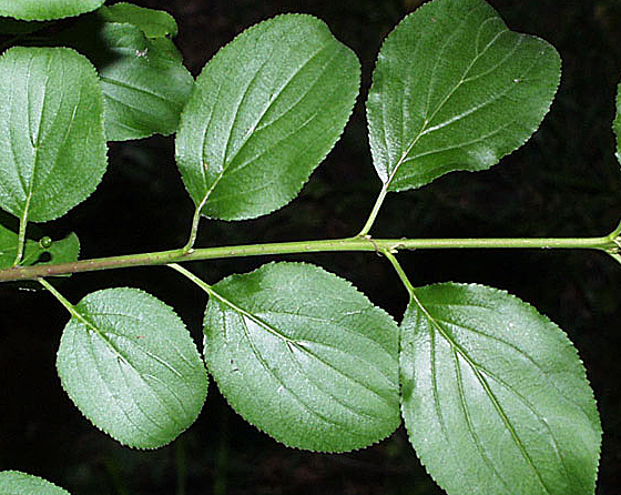 Image of common buckthorn | Friends of the Mississippi River
