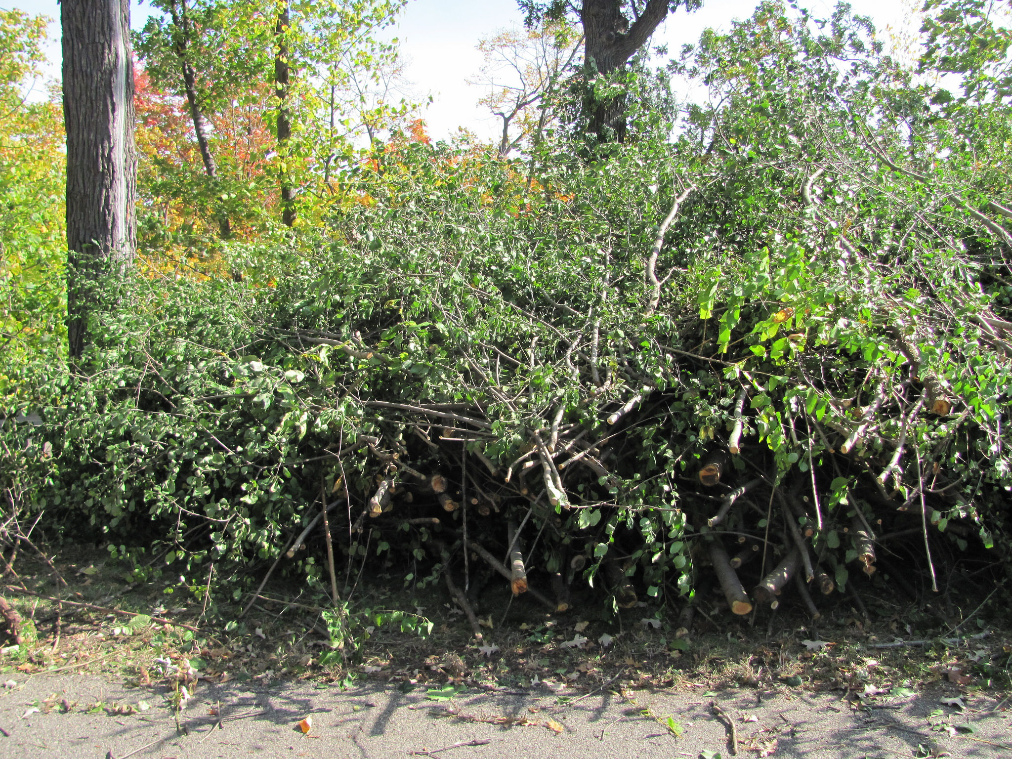 Stacked buckthorn from invasives removal event