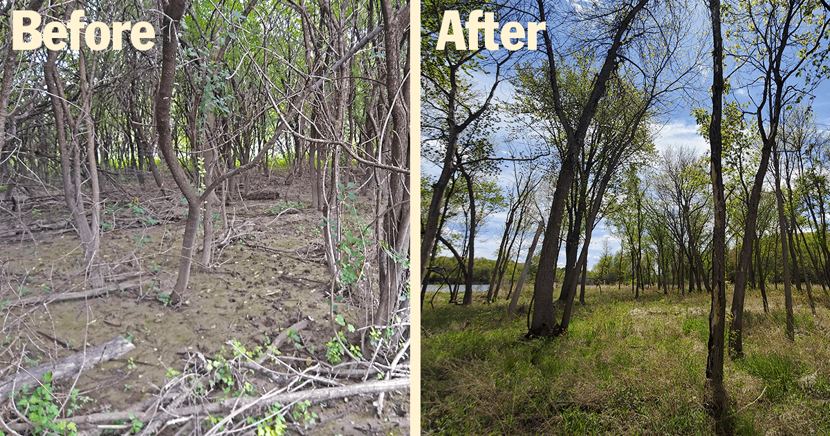 Buckthorn before and after at Settler's Island