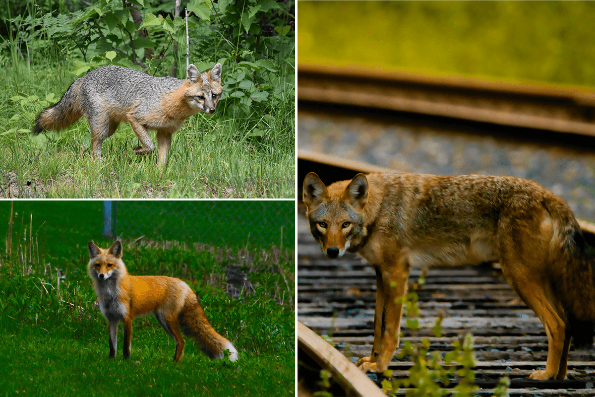 Gray fox, red fox, coyote