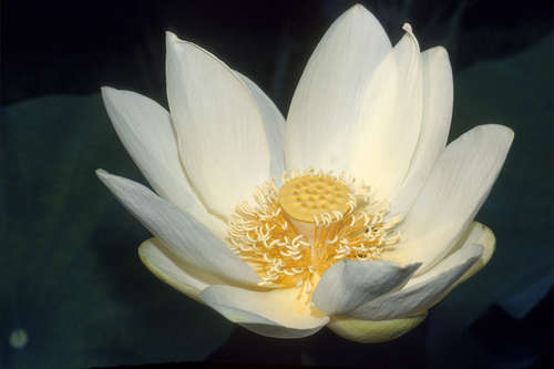 Lovely lotus friends of the mississippi river since ancient times the lotus has been a powerful spiritual symbol of enlightenment awakening and rebirth by various cultures and spiritual teachings mightylinksfo