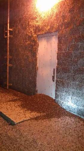 Massive Mayfly Swarms A Good Sign