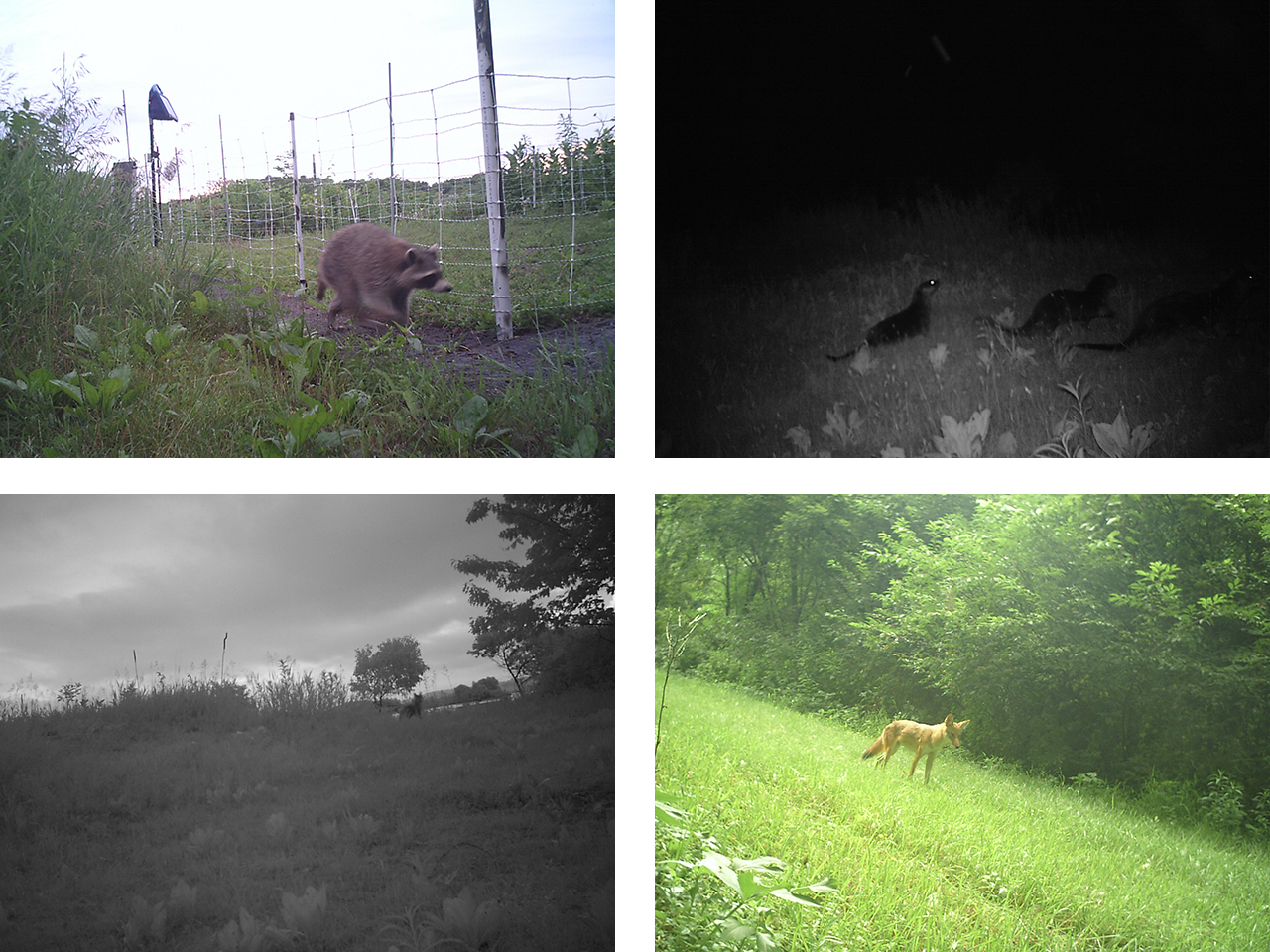 Raccoon, otters, coyote, and red fox from wildlife camera at Spring Lake Islands WMA
