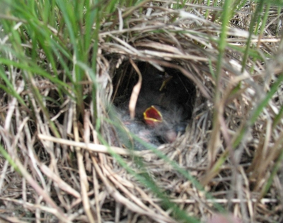 [Photo: Grasshopper Sparrow nest]