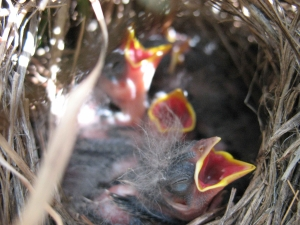[Photo: Grasshopper sparrow chicks]