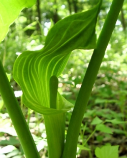 [Photo: Jack in the Pulpit]