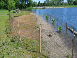 [Photo: Fencing in a planting area on Lake Rebecca.]