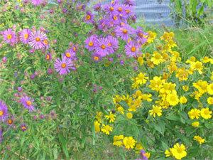 [Photo: New England Aster and Sneezeweed.]