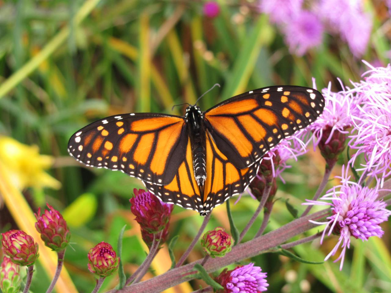 A monarch enjoying a beautiful rain garden