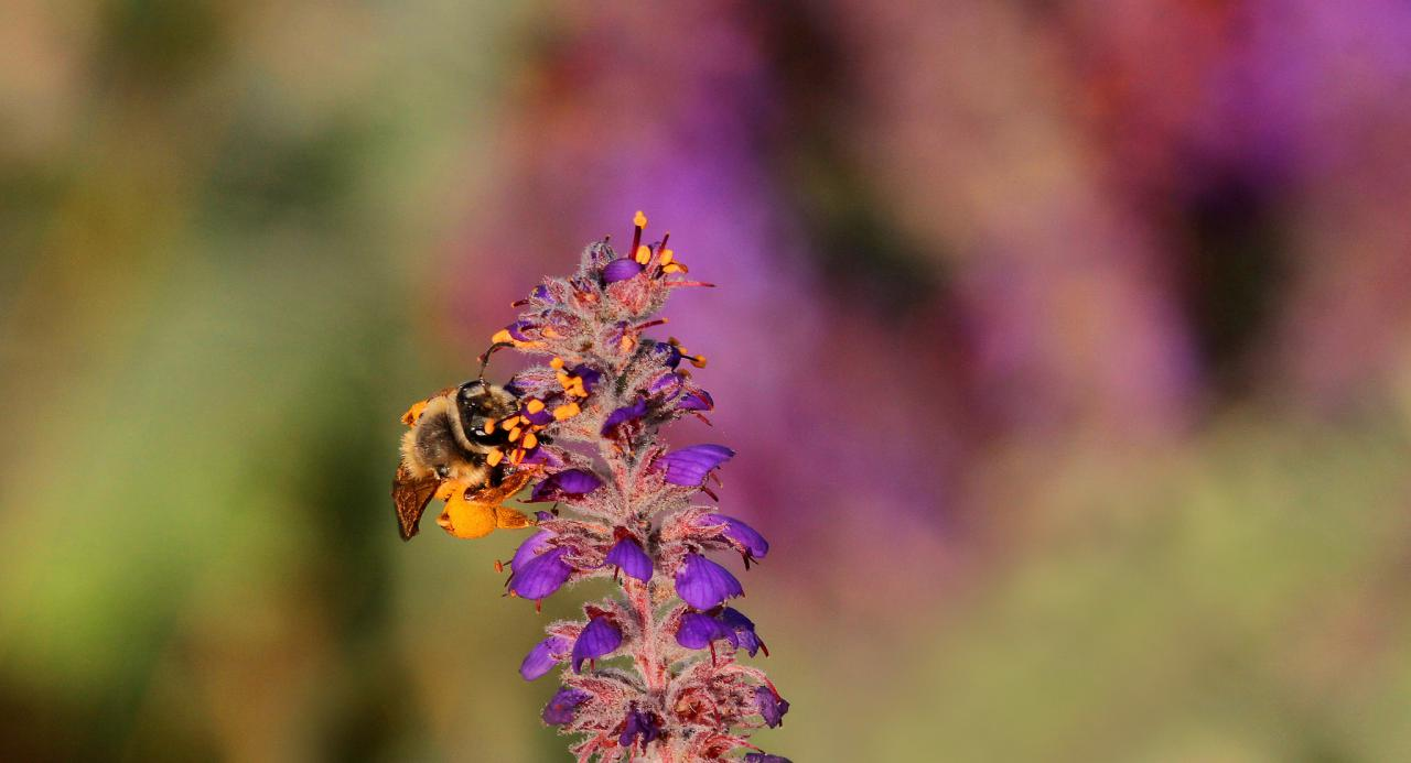 Wild bee on a leadplant prairie flower in Minnesota.