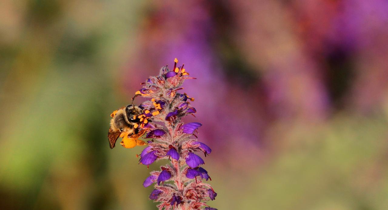Pollinator on a Lead Plant