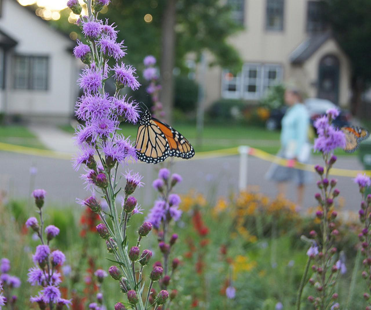 Liatris and monarch