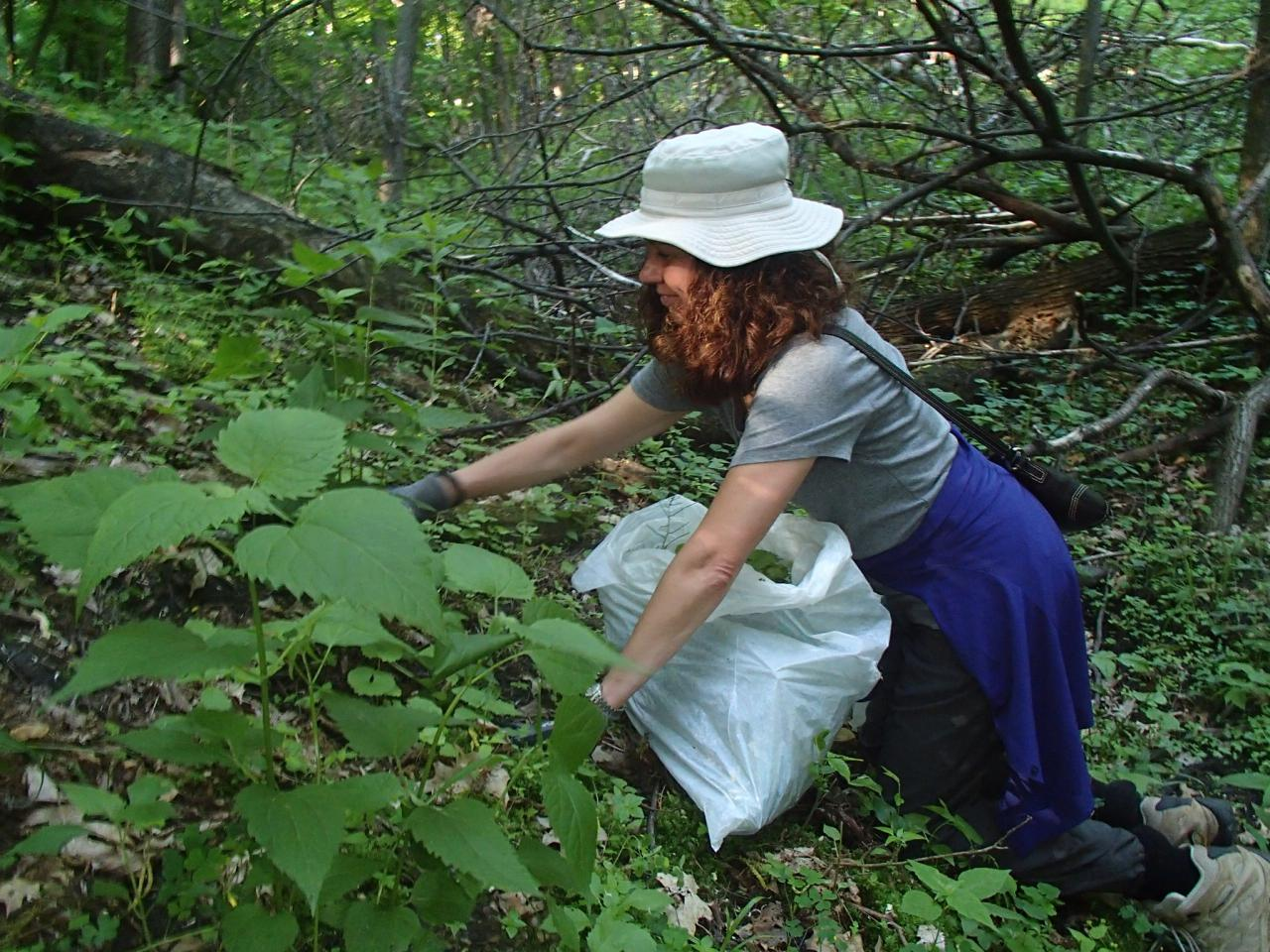 A volunteer pulls invasive plants on a slope at Camel's Hump Park