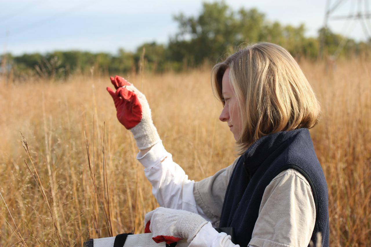 Hand collecting prairie seeds