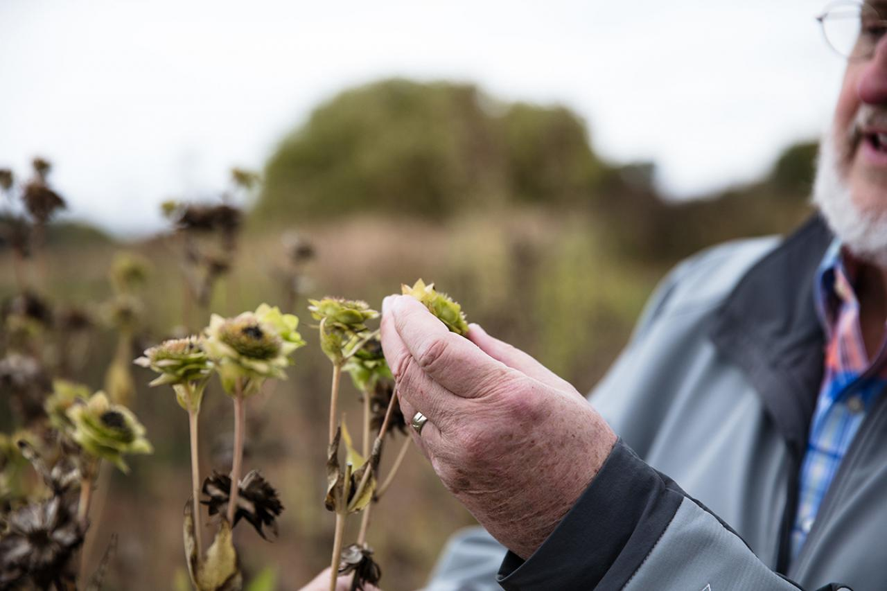 Don Wyse shows silphium plant