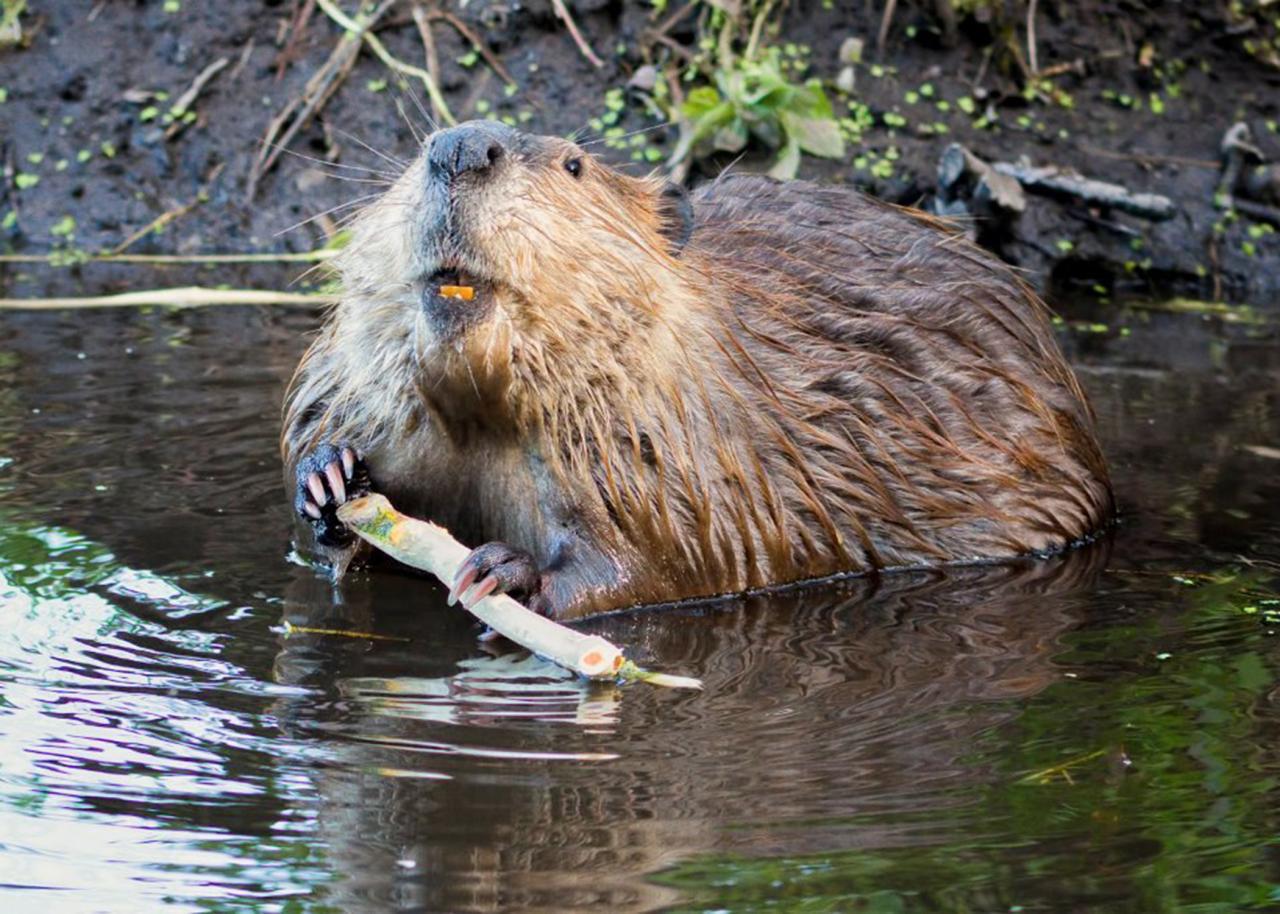 Thank you, beaver!