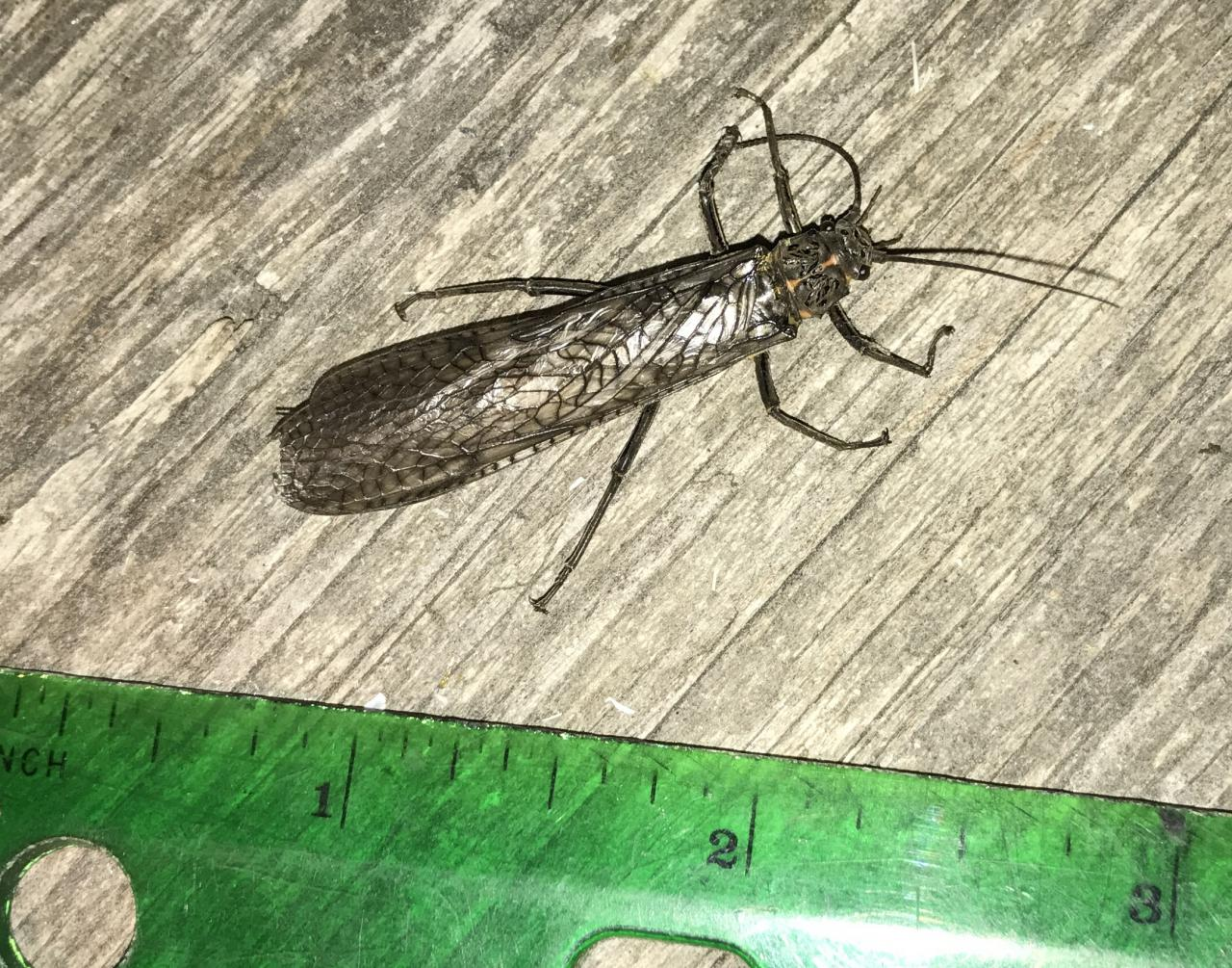 Stoneflies indicate good water quality.