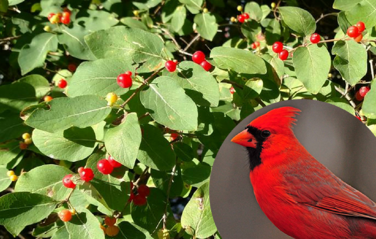 These bright red and shiny berries offer no nutrition to hungry birds.