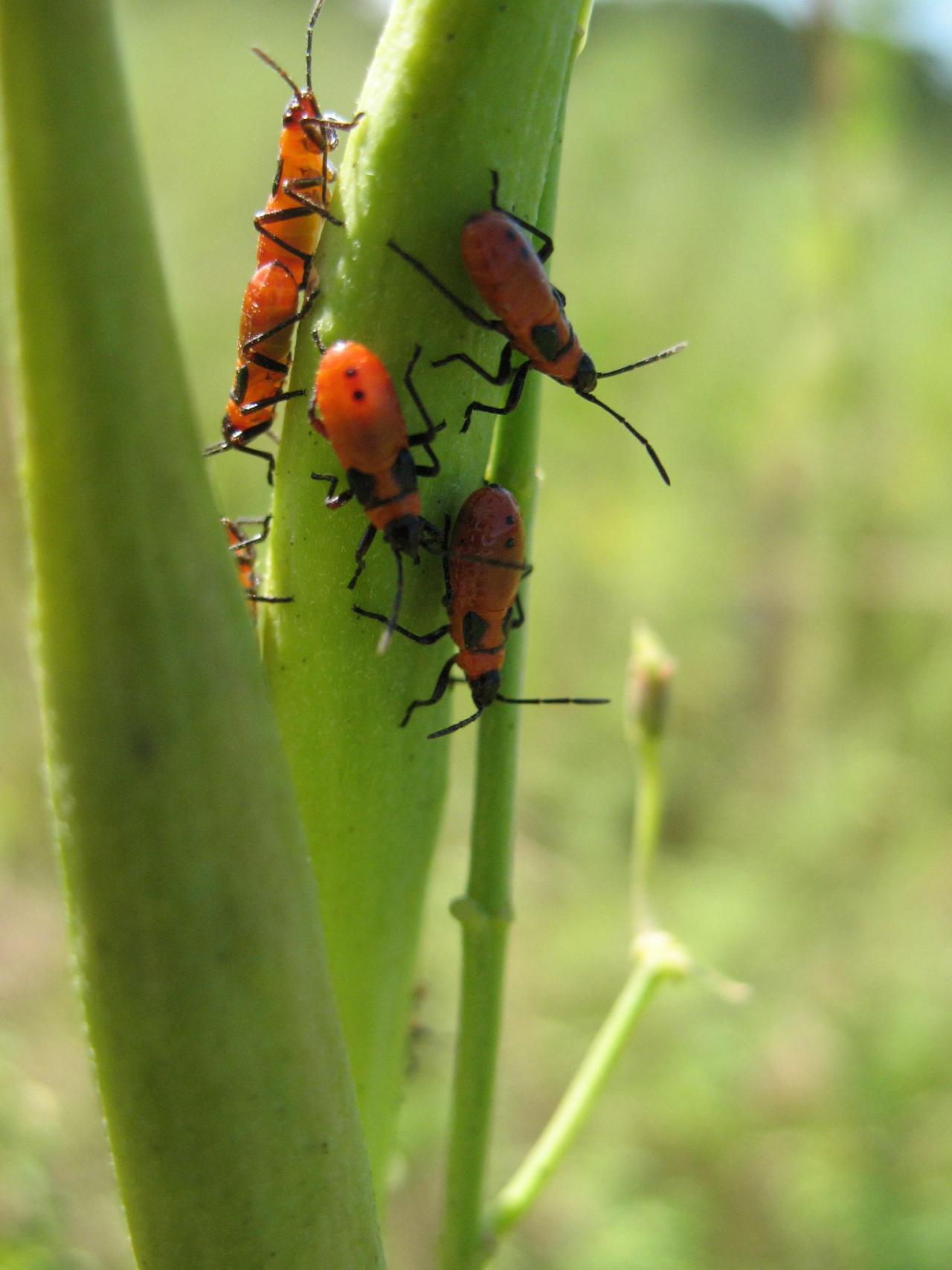Milkweed bug nymphs with black wing buds, found on whorled milkweed in late August in Dakota County. Once mature, this generation will fly south as food supplies dwindle.