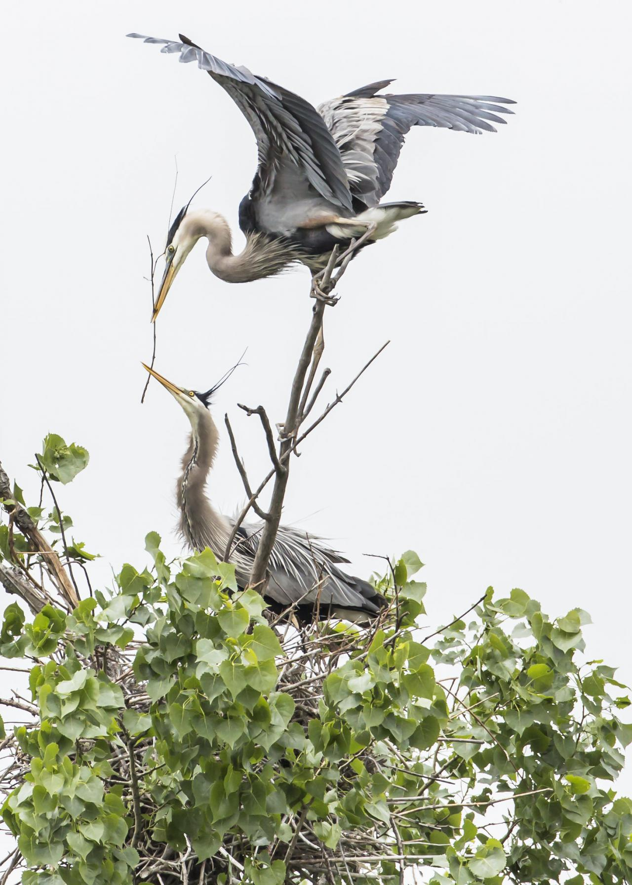 A heron passes nest building material to its mate