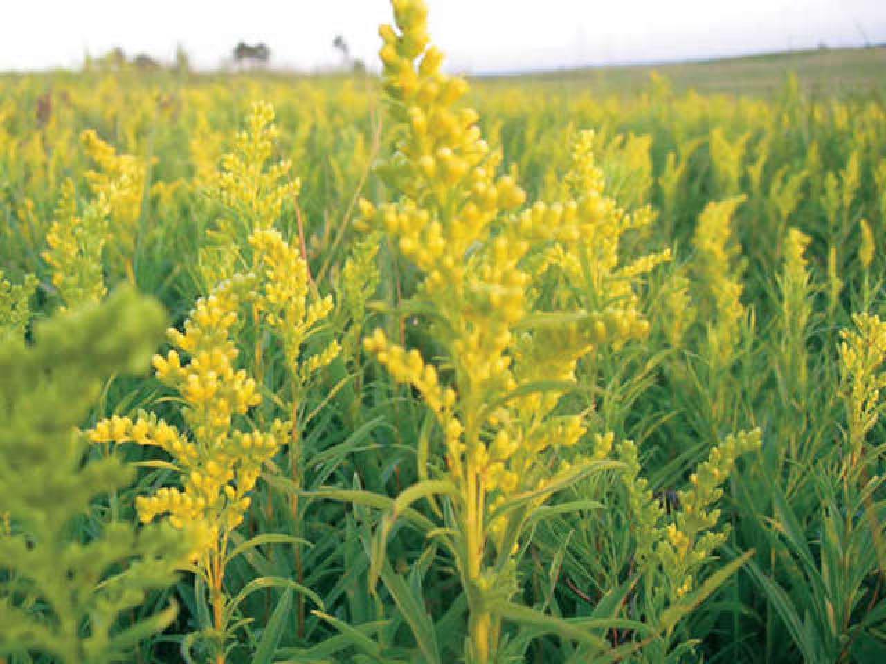 July Goldenrod or ragweed