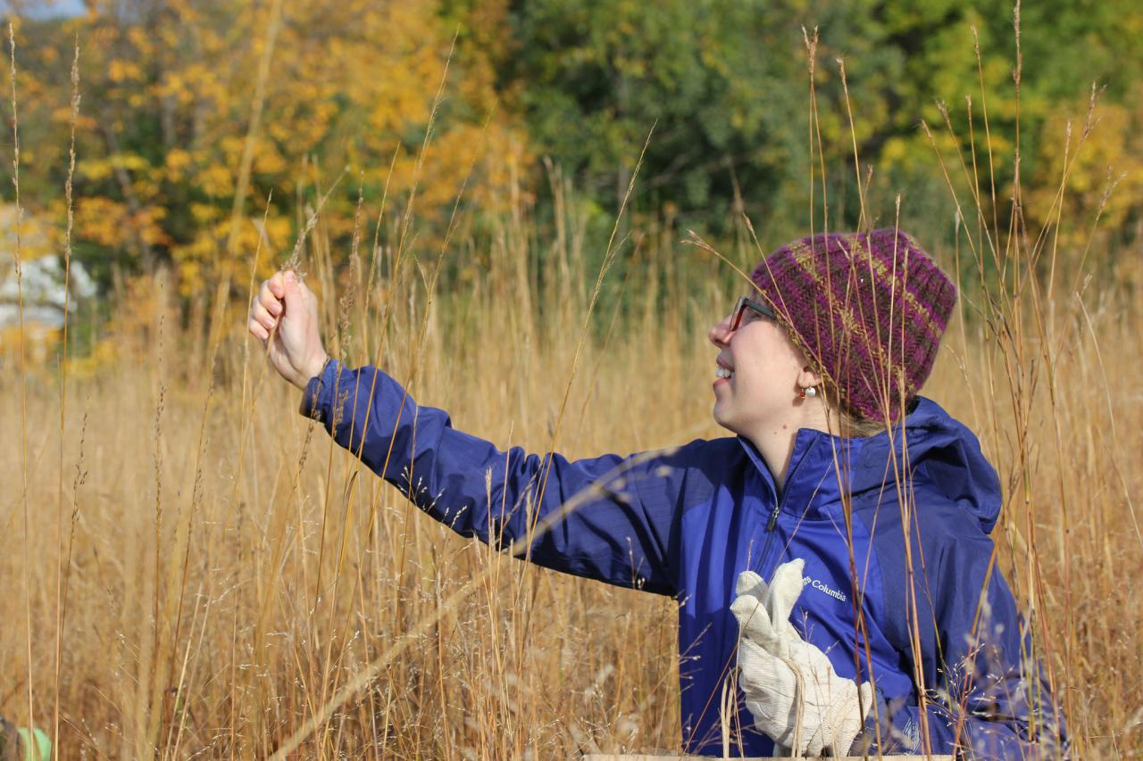 Hand collecting native grass seed at Heritage Village Park