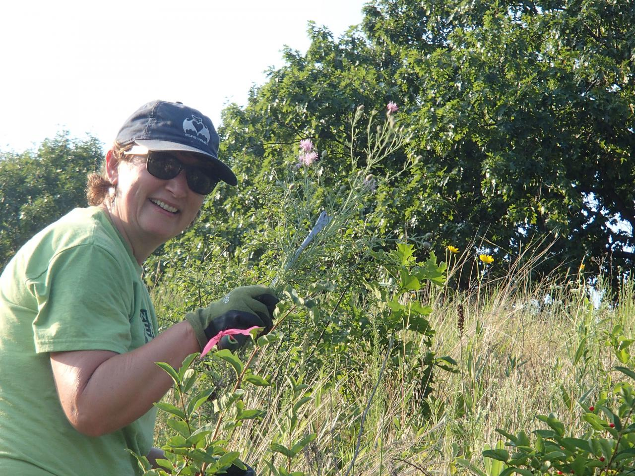 Volunteer pulling spotted knapweed at Pine Bend Bluffs SNA
