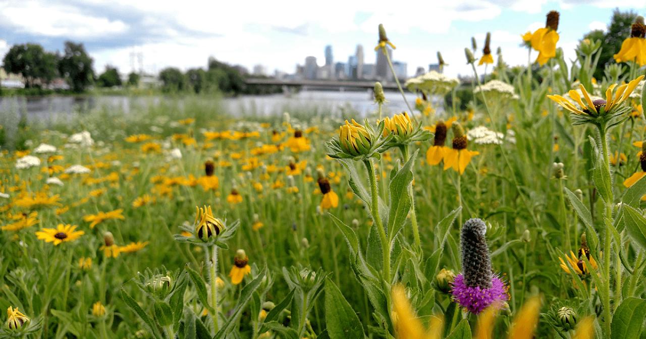 Native wildflowers and Minneapolis skyline