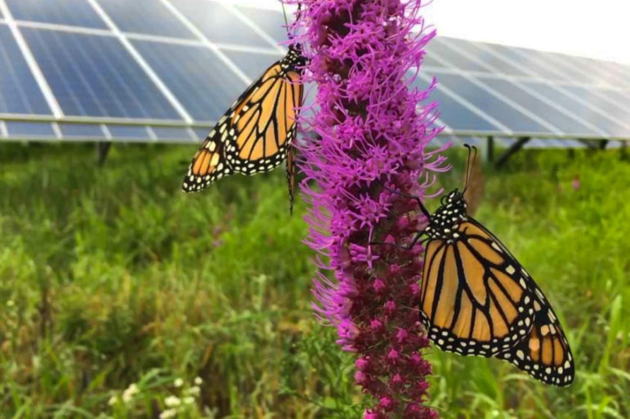 monarch butterflies on blazing star flowers in front of solar panels