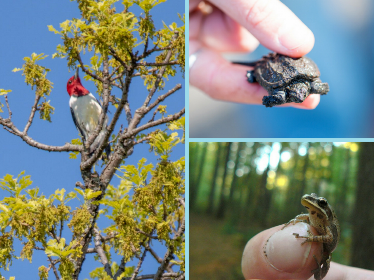 Red-headed woodpecker, snapping turtle and chorus frog