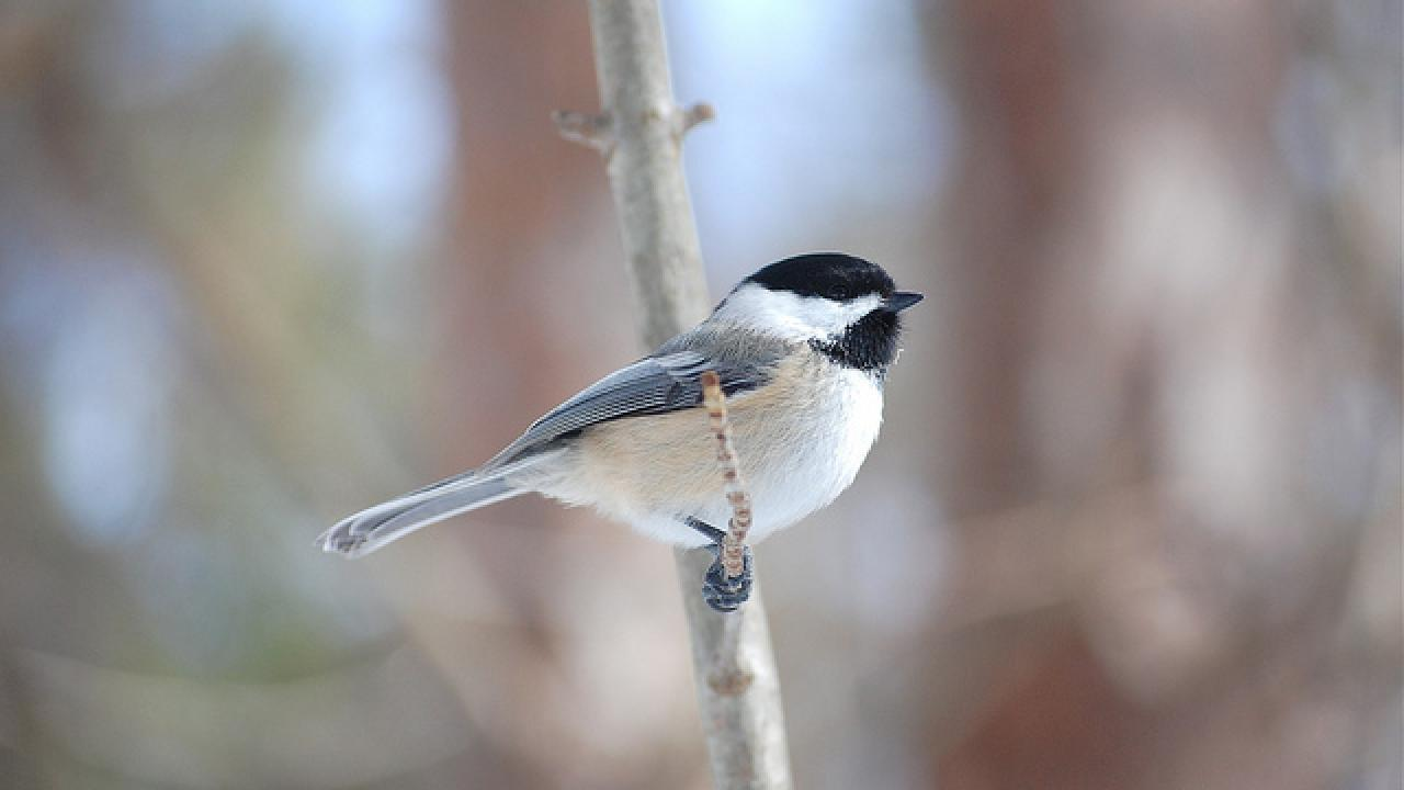 Black-capped chickadee on branch