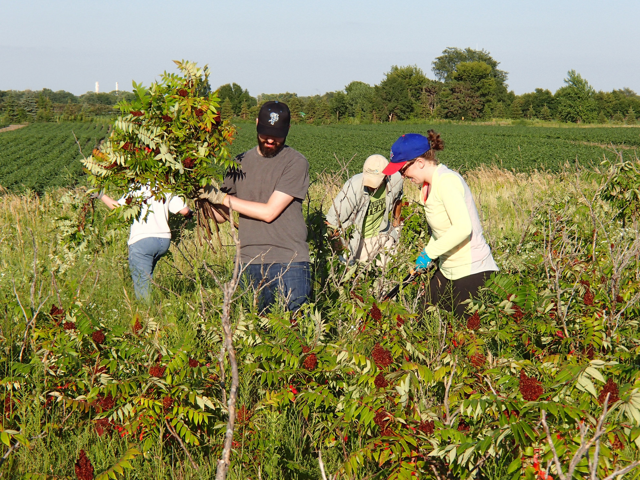 Volunteers removing sumac from Grey Cloud Dunes SNA
